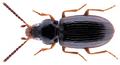 Elaphropus parvulus (Dejean, 1831).png