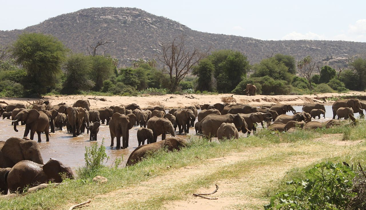 File:Elephants Crossing Ewaso Ng'iro River In Samburu