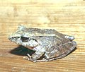 Eleutherodactylus02.jpg