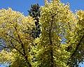 Elm and Spruce (2856441055).jpg