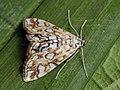 Elophila nymphaeata - Brown china-mark - Водная огнёвка кувшинковая (25948267687).jpg