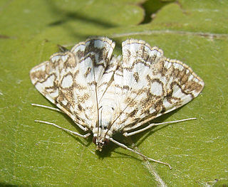 Acentropinae Subfamily of moths