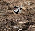 Elseyornis melanops -Pilbara, Western Australia, Australia-8.jpg