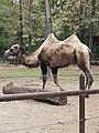 Em - Camelus bactrianus - 9.jpg