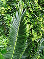 Encephalartos manikensis furnas 2015 (03).jpg