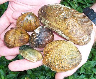 Unionidae Family of molluscs