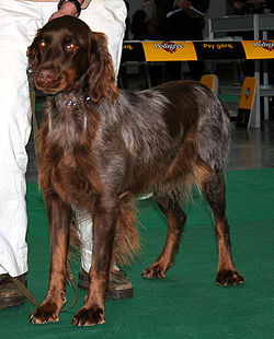 """A person in white trousers holds a brown spaniel with white ticking by a short lead."""