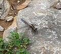 Epaulet Skimmer. Orthetrum chrysostigma .Male. - Flickr - gailhampshire.jpg