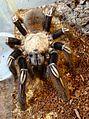 Ephebopus murinus Tarantula.jpg