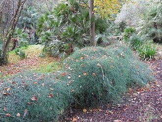 Ephedra altissima - Image: Ephedra altissima — Leonora Enking 001