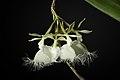 Epidendrum ilense 'Sapporo Black' (x sib) Dodson, Selbyana 2- 51 (1977) (26356326068).jpg