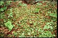 Epigaea repens 2-eheep (5097281593).jpg