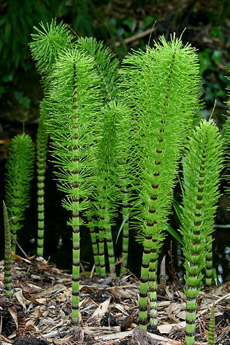 "Equisetum - ""Candocks"" of the great horsetail (Equisetum telmateia subsp. telmateia), showing whorls of branches and the tiny dark-tipped leaves"