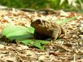 Erdkröte auf Blatt - Buchberger Leite.png