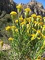Ericameria linearifolia 11.jpg