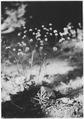 Eriogonum, Bohemia, Umpqua, Oregon, 1920 - NARA - 299121.tif