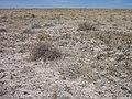 Eriogonum shockleyi var. packardiae in SW Idaho 2.jpg