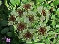 Eriogonum umbellatum a1.jpg