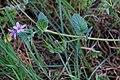 Erodium malacoides-Erodium fausse mauve-Tige-20190318.jpg