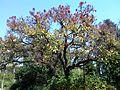 Erythrina falcata, habitus, Manie vd Schijff BT.jpg