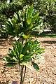 Erythrochiton brasiliensis 5zz.jpg