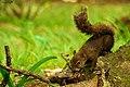 Esquilo encontrado no Jardim Botânico.jpg