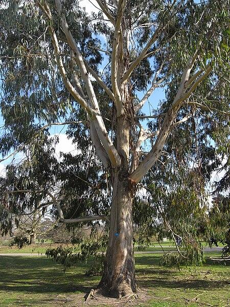 File:Eucalyptus Chapmaniana 5201.JPG