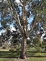 Eucalyptus Chapmaniana 5201.JPG