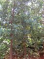Eucalyptus alligatrix Gardenology.org-IMG 9342 rbgm10dec.jpg