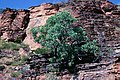 Eucalyptus brachyandra.jpg