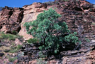 <i>Eucalyptus brachyandra</i> species of plant