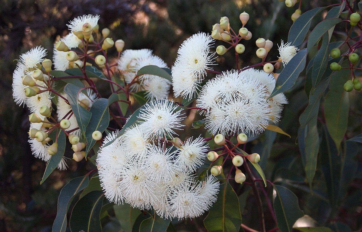 Corymbia calophylla wikipedia mightylinksfo