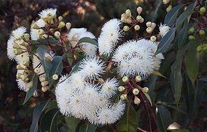 Corymbia calophylla - C. calophylla, near Cataby