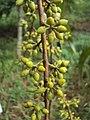 Eucalyptus camaldulensis 11.JPG