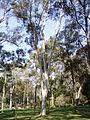 Eucalyptus mannifera.jpg