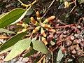 Eucalyptus utilis IMG 20181013 134439.jpg