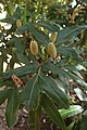 Eucryphia moorei kz02.jpg