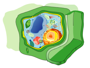 Cell wall - Diagram of the plant cell, with the cell wall in green.