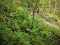 Eulophia ochreata Lindl. (5853015796).jpg