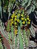 Euphorbia avasmontana 02.JPG