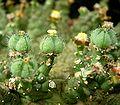 Euphorbia brevirama 02 ies.jpg