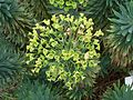 Euphorbia characias 001.jpg