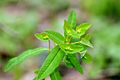 Euphorbia dulcis (8345442633).jpg