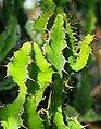 Euphorbia grandialata Wilczomlecz 2014-10-12 04.jpg