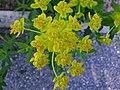 Euphorbia palustris a1.jpg