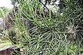 Euphorbia tirucalli 16zz.jpg
