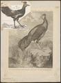Euplocomus vieillotii - 1798-1801 - Print - Iconographia Zoologica - Special Collections University of Amsterdam - UBA01 IZ16900276.tif