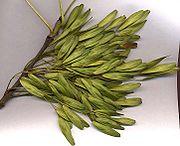 Closeup of European Ash seeds