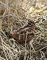 Eurasian Woodcock (Scolopax rusticola) (46579155361).jpg