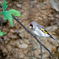 European Goldfinch (14362816899).jpg